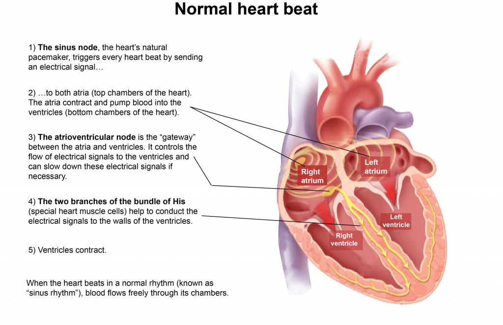 About atrial fibrillation the anatomy of the heart the heart is a pump distributing blood to ccuart Choice Image
